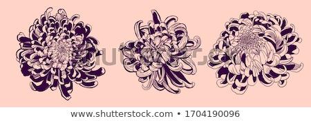 Chrysantheme Blume isoliert weiß Papier Hand Stock foto © frescomovie