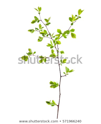 close up shot of a branch with young leaves in spring stock photo © meinzahn