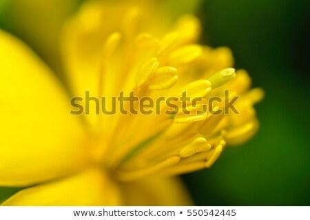 close up of spring tulips stock photo © sandralise