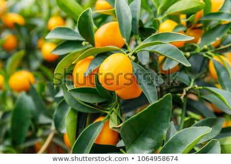 árvore frutífera maduro frutas verde ao ar livre Foto stock © zhekos