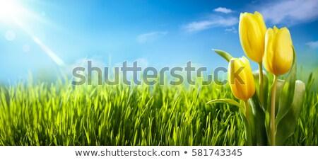 Foto stock: Turva · tulipas · campo · rosa · flores · verde