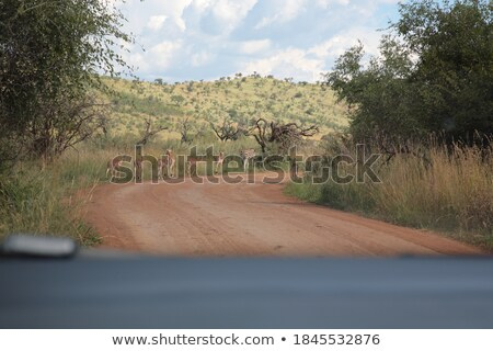 Group of female Impalas on the road. Stock photo © simoneeman