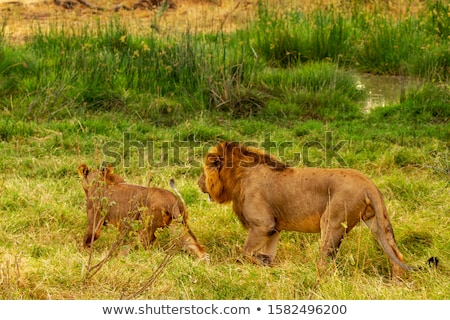 Lion mating couple walking in the grass. stock photo © simoneeman