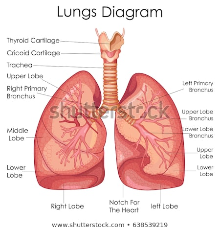 Human Lung anatomy diagram Stock photo © Andrei_