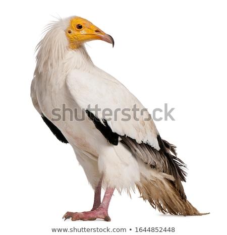 Egyptian vulture Stock photo © broker
