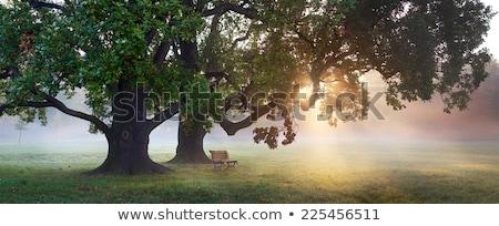 Misty rovere vecchio quercia velo Foto d'archivio © RTimages