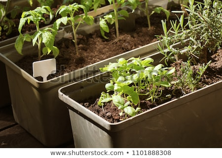 Vegetable garden on a terrace. Herbs, tomatoes seedling growing in container Stock photo © Virgin