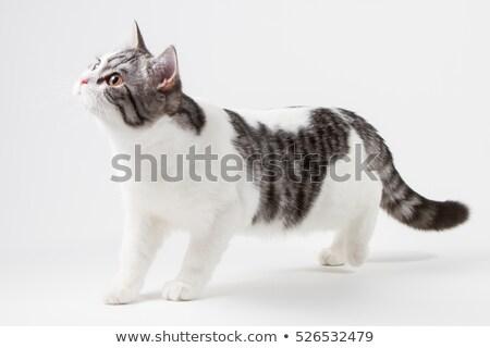Maakt · een · reservekopie · onbehaard · kat · witte · dier - stockfoto © feedough