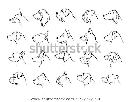 Touro terrier cão cachorro animal de estimação adulto Foto stock © cynoclub