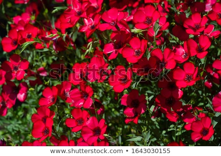 Two scarlet flax flowers Stock photo © sarahdoow
