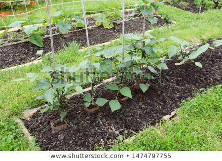 Row of dwarf French bean plants  Stock photo © sarahdoow