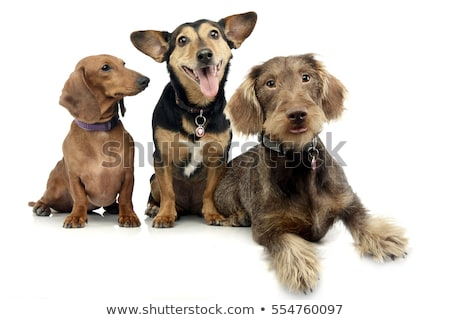 Studio shot of two adorable Dachshund and a mixed breed dog Stock photo © vauvau