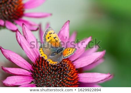 Cobre borboleta néctar flor macro Foto stock © manfredxy