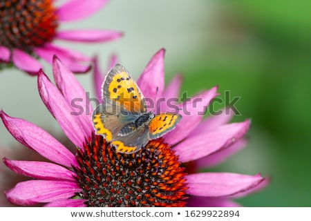 Cobre mariposa recoger néctar flor macro Foto stock © manfredxy
