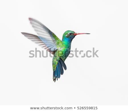 Flying rainbow hummingbird Stock photo © blackmoon979