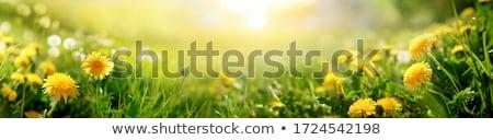 美しい 黄色の花 草原 花 フィールド ストックフォト © dsmsoft