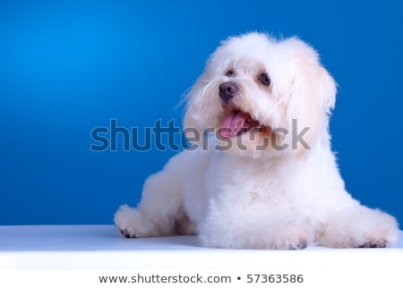 bichon maltese looking to a side Stock photo © feedough