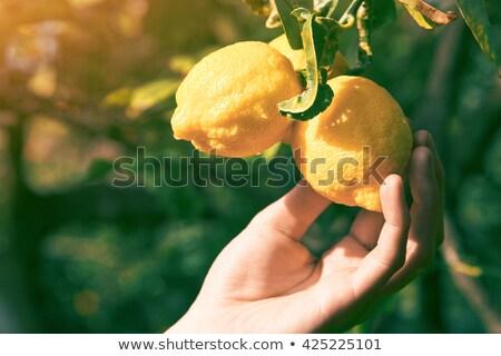 Farmer in lemon garden Stock photo © Anna_Om