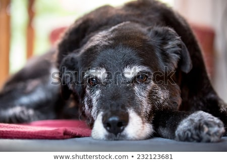 animal   old dog stock photo © mythja