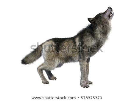 Howling wolf - 3D render Stock photo © Elenarts