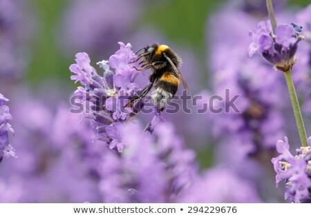 Foto stock: Mel · de · abelha · lavanda · arbusto · néctar · pólen · belo
