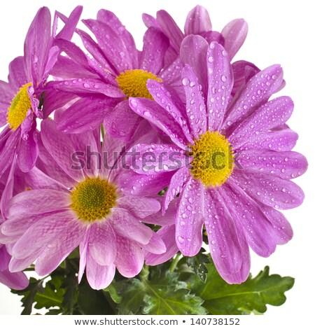 ぬれた 白 ピンク 菊 花 つぼみ ストックフォト © stocker