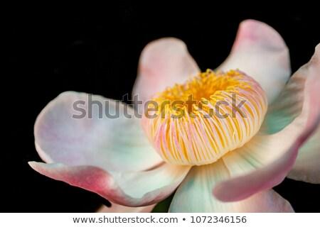 roze · bloem · bloeien · tuin · schoonheid - stockfoto © stocker