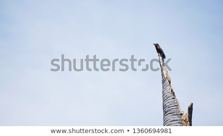 Dead Blue Jay Tail Feathers Stock photo © ca2hill