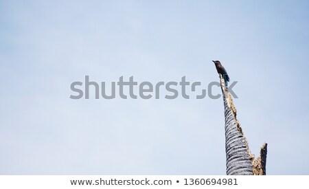 синий · Перу · птиц · белый - Сток-фото © ca2hill