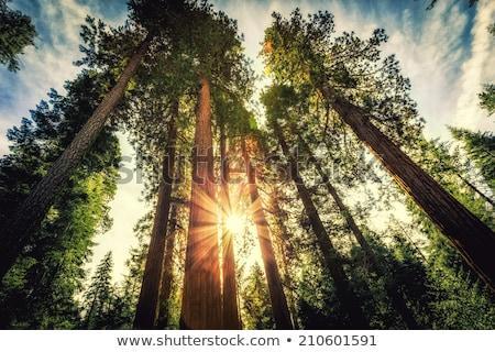 árbol raíz madera secoya textura naturaleza Foto stock © weltreisendertj