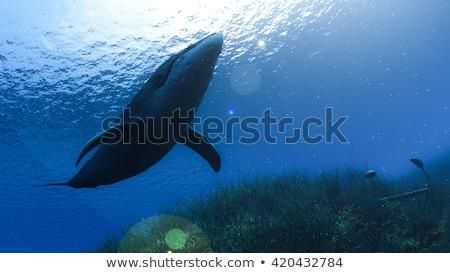 Asesino ballena subacuático 3d tranquilo natación Foto stock © Elenarts