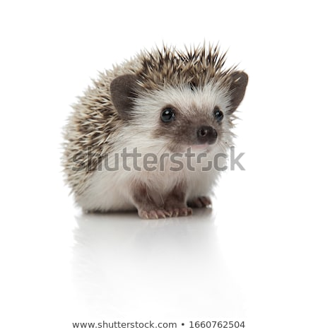 Thinking Hedgehog Stock photo © derocz