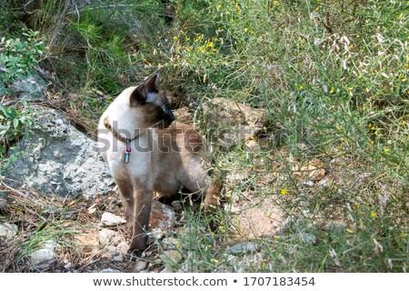Siamese in The Garden Stock photo © songbird