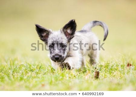 Scottish Terrier puppy Stock photo © willeecole