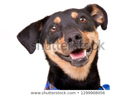 Mixed-bred dog Stock photo © bigandt