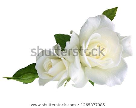 Gyönyörű rózsa izolált fehér virág levél Stock fotó © natika