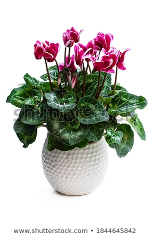 Pink cyclamen Stock photo © simply