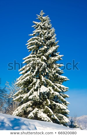 Snow-covered tall fir tree and blue sky Stock photo © Smileus
