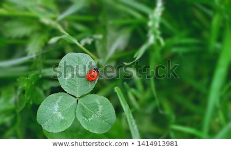 bonitinho · joaninha · folha · grama · feliz · verão - foto stock © aliaksandra