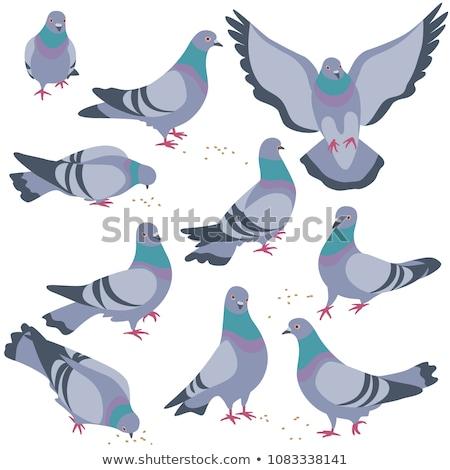 walking pigeons stock photo © razvanphotography
