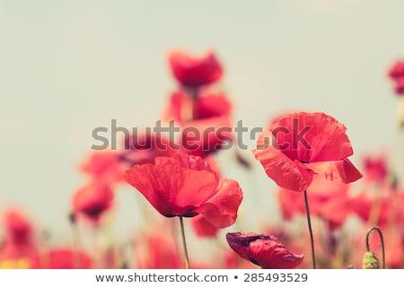 Poppy bloemen retro vreedzaam zomer vintage Stockfoto © blasbike