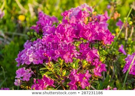 ストックフォト: 林間の空き地 · 開花 · 山 · 風景 · 美しい · ピンク