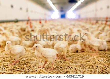 Csoport tömeg csirke ivóvíz család baba Stock fotó © Aikon
