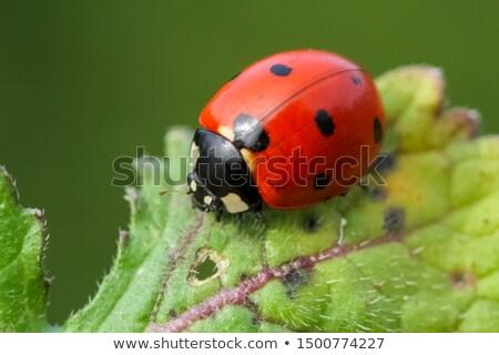 joaninha · inseto · planta · folha · macro · cenário - foto stock © cienpies