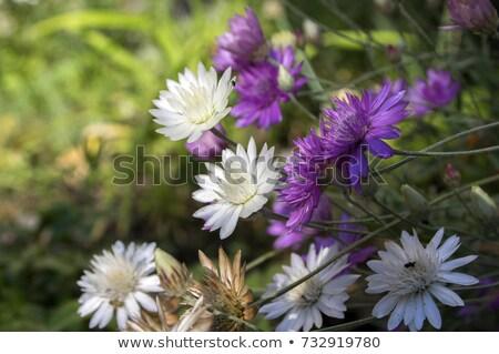 Flores campo jardim verão cabeça europa Foto stock © mady70