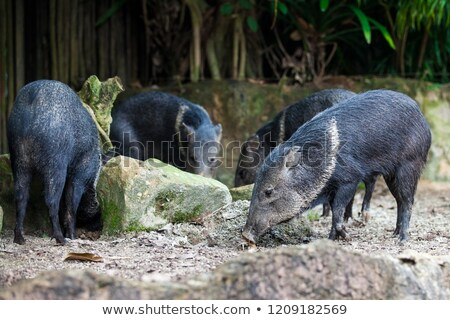 Four wild young piglets on a field Stock photo © kb-photodesign