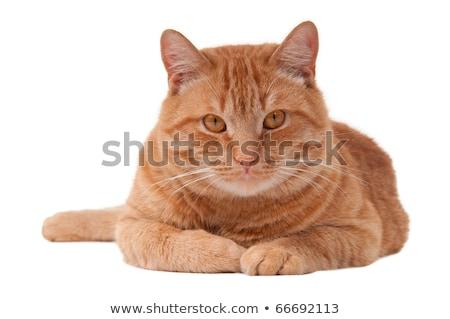 красный кошки студию полу счастливым красоту Сток-фото © vauvau
