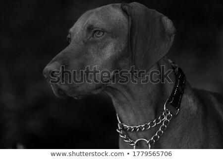 Hungarian vizsla standing in black background Stock photo © vauvau