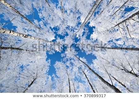 冷たい 冬 日 美しい 霜 木 ストックフォト © vlad_star