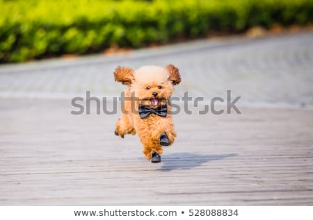 プードル · 犬 · を実行して · 芝生 · 緑 - ストックフォト © raywoo